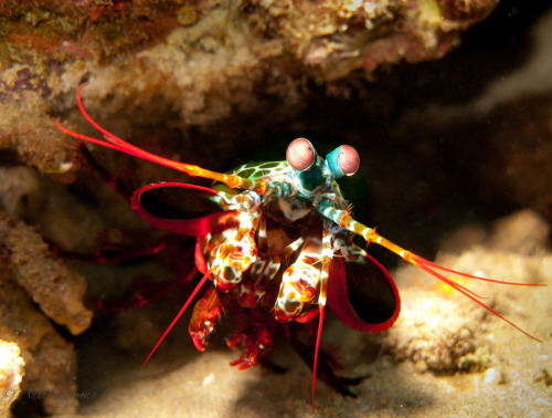 animals-animals-animals:  Mantis Shrimp (by Anthony Chapman)