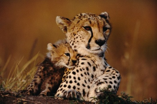 magicalnaturetour:   Cheetah cub cuddles up to mother by ithiefaleaf :)