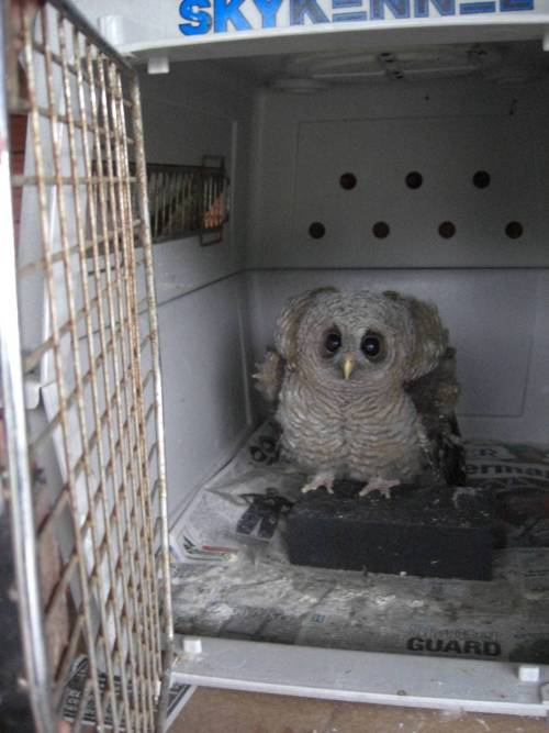 for my cake day I present an adorable/terrifying baby owl. - Imgur