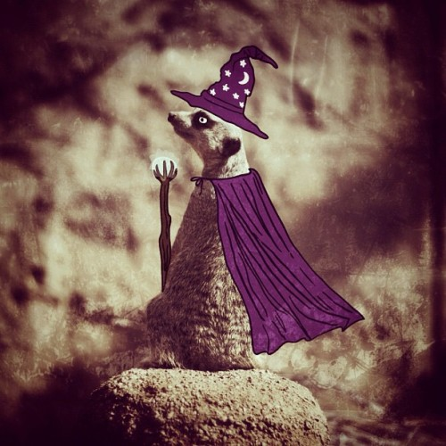 #WizardWednesday - #meerkat #wizard #magic #nerd #illustrator #snapseed #indyzoo #indy #zoo #wizardhat #cape #magicstaff #doodle #artist #animalwearingcape (Taken with Instagram at Indianapolis Zoo)