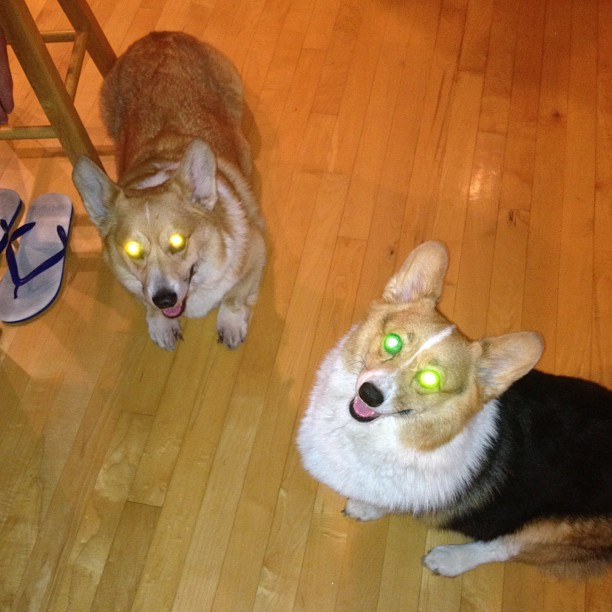 Hypnotize with yo eyes #corgi #cute #love #petstagram #corgistagram #igers #dog #photooftheday  (Taken with Instagram)