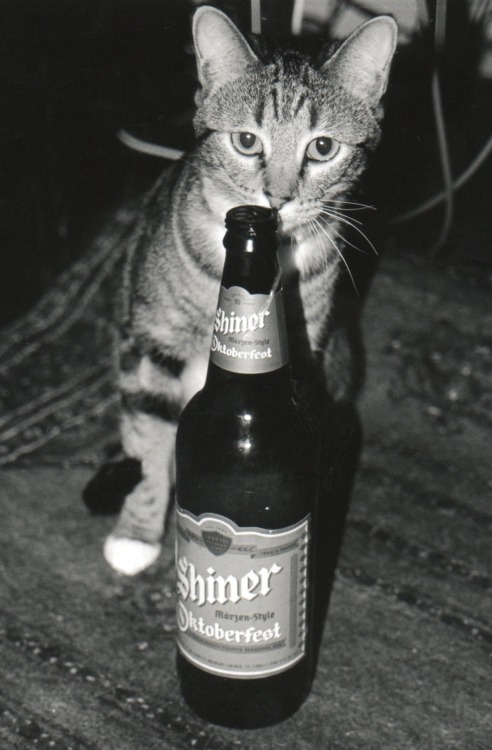 what are you doing cat? you're too young to drink and cats don't even celebrate Oktoberfest. so why are you trying to drink my märzen beer?