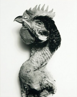 """Rooster"", 2003  By: IRVING PENN…."