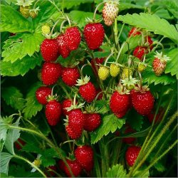 portu666:  senzual-girl  Freakin' YUM!!! Strawberries straight off the plant are delish.