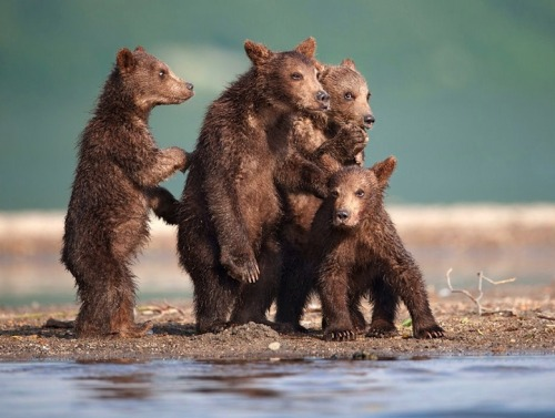 theanimalblog:  Bears by Nikolai Zinoviev | via: MyModernMet