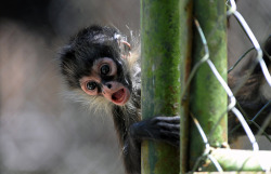 theanimalblog:  El Picacho, Honduras: A baby monkey at the Rosy Walter zoo. Photograph: Orlando Sierra/AFP/Getty Images