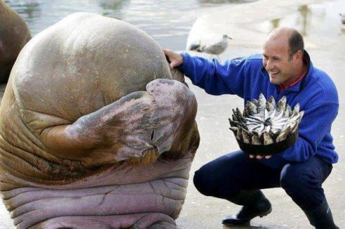 A Walrus' reaction to being presented with a fish cake for his birthday