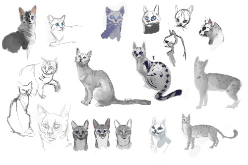 suddenlysencha:  Today's studies involved cats.  Lots of cats. And some quick character design for Prince the blue-eyed mau.  Trying to work a human skull into his design and still have him look believable? All reference from google images.
