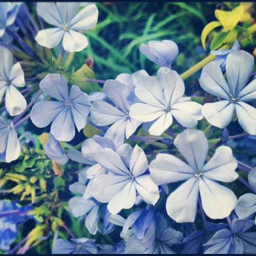 Blue #flowers (Tomada con Instagram)
