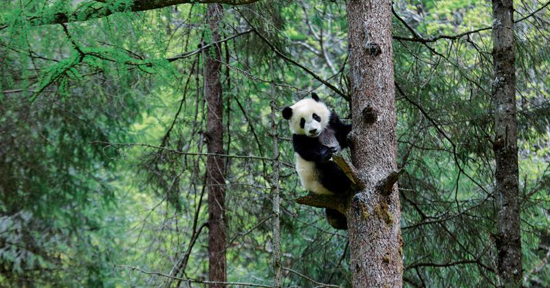 an adult panda easily climbs a tree                                                                      photography by zhou mengqi