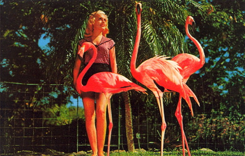 "CAPTION CONTEST — Flamingo 9/24/12  9:02 PM:  GRACEFUL FLAMINGOS AT MIAMI'S PARROT JUNGLE  Thanks for your captions, everyone! The winner is Kate Orman for the caption: ""Sure she's cute - but do we really need a lawn ornament?"" Congratulations, Kate Orman! To claim your postcard prize, email me at bad.postcards@gmail.com with your choice of postcard from the list below and your mailing address. The RULES1) MAXIMUM of TWENTY (20) WORDS2) One entry per person3) Please enter your caption in the comments of this post4) Submissions will be accepted until Sunday, September 23, 2012 at 8:00 PM EDT The author of my favorite caption will have their choice of one of these original vintage postcards (all previously published on BAD POSTCARDS): 1) NIPPLE INSPECTION2) WE MISS YOU3) TIMMY THE TIGER, Cypress Gardens, Florida4) A'TOP BIG POCONO5) MISS SUGARDALE—1958  HAVE FUN and GOOD LUCK!"