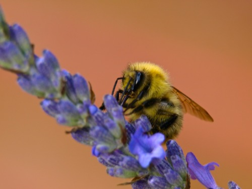 I took a photo of this bee collecting nectar from lavender in our garden today. Apparently, local honey production has been affected by our wet dull summer.