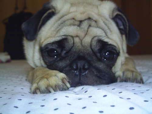 Hi guys. Meet Lola!! A beautiful pug from Brazil! Cute submission!