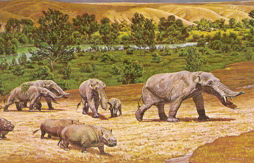Amebelodon  … a member of a diverse group of primitive proboscideans called gomphotheres, a group that also gave rise to the modern elephants and their close relative the mammoth. The most striking attribute of this animal is its lower tusks, which are narrow, elongated,and distinctly flattened with the degree of flattening varying among the different species. Amebelodon first appeared in the Great Plains and Gulf Coast regions of North America during the late Miocene, roughly between 9 and 8 million years ago, and apparently became extinct on this continent sometime around 6 million years ago. It managed to migrate to Asia via the Bering land bridge where it has been found in a number of late Miocene sites, particularly in China. The youngest record of Amebelodon is from a 5 million year old site in North Africa... (read more: Wikipedia) (image: Restoration on a mural made for the US government-owned Smithsonian Museum)