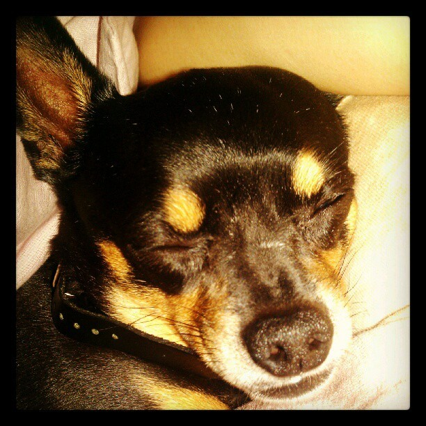 #dogge #chihuahua #chicharron naps (Taken with Instagram at Napsville)