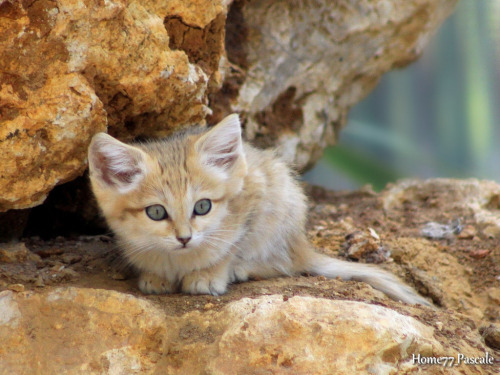 llbwwb:  Sand Cat, bébé chat des sables 2 mois (by home77_Pascale)