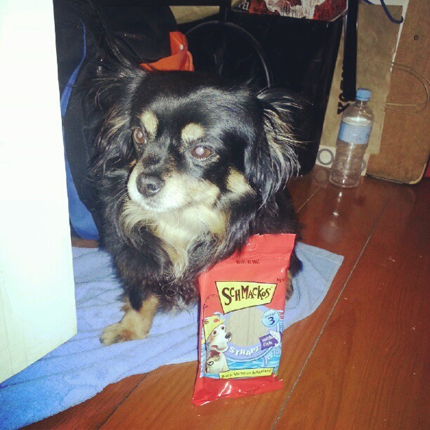 Thank you Schmackos for sending cherry free strapz with fish! #instamood #instadaily #picoftheday #love #instagood #cherry #eatfred #pet #instapet #chihuahua #dog #chiwawa #schmackos #free #treats  (Taken with Instagram)