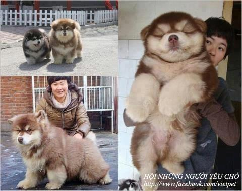 aryll:  boxofbuttholes:  A CHOW CHOW SIBERIAN HUSKY MIX. HOLY FUCKING SANTA CLAUS.   that's a growlithe