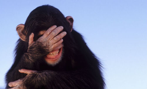"so, if a chimp slips on a banana peel… Apes Enjoy Slapstick Humor  Apes appear to have a crude sense of humor. They have even been seen playing practical jokes of sorts at one another's expense. This could shed light on the evolutionary source of laughter.  ""Human laughter derives from the play invitation vocalizations of Old World monkeys and apes, but this is normally confined to juveniles and adolescents; adults don't play,"" Robin Dunbar professor of evolutionary psychology at the University of Oxford.    c'mon get happy…"