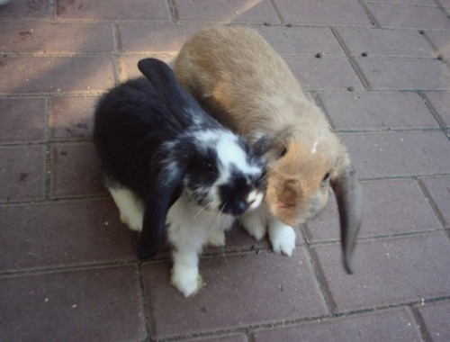 dailybunny:  Bunnies Kiss for the Camera Thanks, Irene!