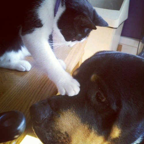 The power of christ compels you. #snarf #alfalfa #rottweiler #cat (Taken with Instagram)