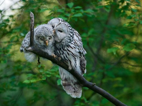 "nationalgeographicmagazine:  Ural Owls, Estonia Photograph by Sven ZačekShe looks sweet grooming her chick, but don't mess with mom's nest: Ural owls are aggressively territorial. ""I've made an 'agreement' with the females that the price to band and measure one nestling is six hard punches on the head,"" says Finnish ornithologist Pertti Saurola."