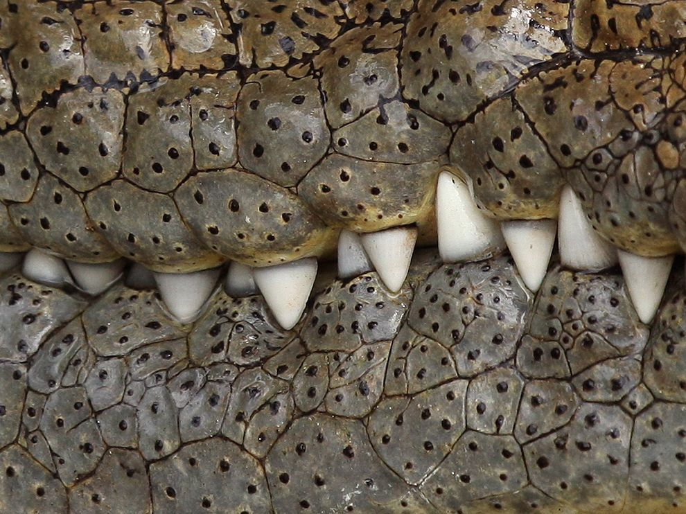 nationalgeographicmagazine:  Crocodile, Serengeti Photograph by Paul Coleman, My ShotClose-up of a crocodile's teeth Download Wallpaper (1600 x 1200 pixels)