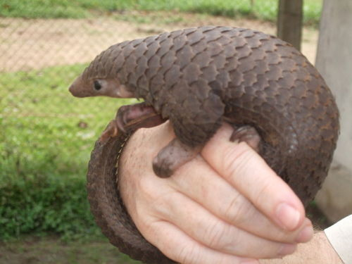 IUCN:  Pangolins Pangolins, also known as scaly anteaters, are eutherian, placental mammals that inhabit tropical and subtropical forests, dry woodlands, and open savannah regions of the Old World. Armoured with unique scales comprised of keratin, pangolins predate almost exclusively on ants and termites and are predominantly nocturnal and elusive, secretive mammals. Pangolins are understood to have diverged from the Carnivora around 70 million years ago and are one of the least diverse mammalian orders. All extant and fossil pangolins reside in the family Manidae, the only family within the taxonomic order Pholidota. Despite fulfilling a similar ecological niche, they are taxonomically distinct from the anteaters, armadillos, and sloths of the Order Xenarthra. (To find out more about the natural history of pangolins click here) Although pangolins are protected by national and international legislation throughout their range, poaching and habitat loss are understood to be severely depleting populations. In particular, illicit hunting for illegal international trade takes place, predominantly in Asia, where the meat of the animals is consumed and their scales used in traditional medicines. However, evidence now suggests that pangolins in Africa are under similar threat from intercontinental trade. (For more information on the threats to pangolins click here) Of the eight extant pangolin species, four occur in Asia: the Chinese Pangolin, the Sunda or Malayan Pangolin, the Philippine Pangolin, and the Indian or Thick-tailed Pangolin. The four African species include the Cape or Temminck's ground Pangolin, the Giant ground or Giant Pangolin, the Tree or African White-bellied Pangolin, and the Long-tailed or Black-bellied Pangolin. The Asian species are distinguished from the African species by the presence of hair between their scales… (read more: http://www.pangolinsg.org/pangolins/) (photo:  Tree pangolin (Manis tricuspis) in central Democratic Republic of the Congo, by Valerius Tygert)
