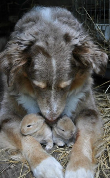 wild-heartedx:  Australian shepherd with baby rabbits (photographer unknown)