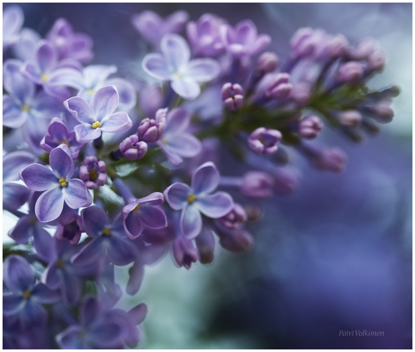 Lilac by ~closer-to-heaven
