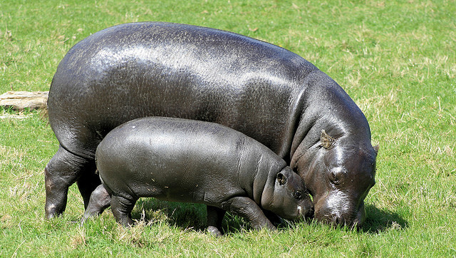 alpha-lima-lima-papa:  Pygmy Hippopotamus 6 by ruthhallam on Flickr.