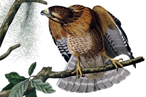 Detail of Plate 56 of The Birds of America, by John Audubon, the Red-shouldered Hawk. This is another one of Audubon's superlative plates, with extraordinary detail in the bird, the foliage, the branches, and even the lichens growing on the branches.