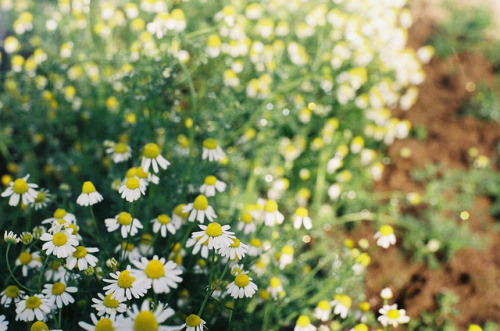 undefine-yourself:  chamomile flowers by laura olljum.