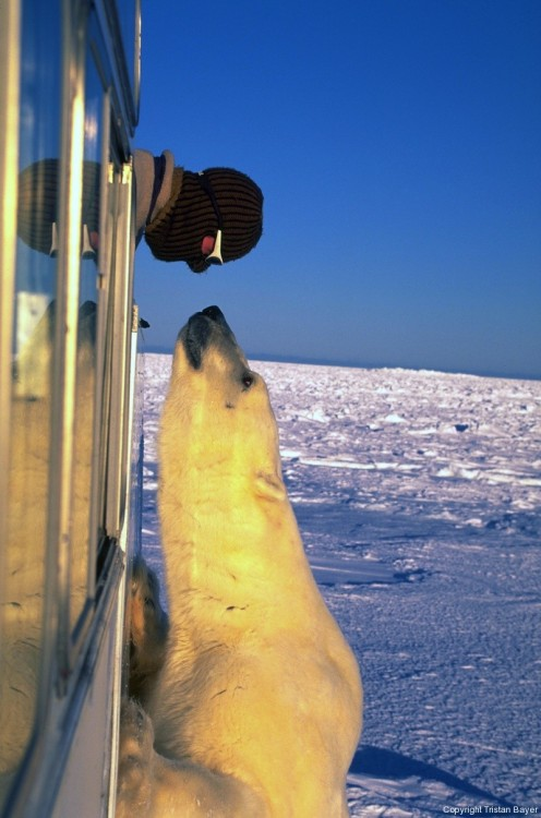 "magicalnaturetour:  Wildlife filmmaker Tristan Bayer goes nose to nose with the Lord of the Arctic. ""Polar Bear Stare"" Wins WIRED Arctic Photo Contest and is Published in UK's Daily Mail via EARTHNATIVE:)"