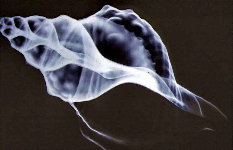 aesthetic-nocturne:  X-ray image of a seashell: Triton. Credit goes to Michel Royon.