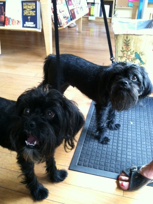 worddogs:  THESE GUYS. They are like MUPPETS! Meet Claude and Hugo, affenpinschers extraordinaire.  Whoa, they are muppets!
