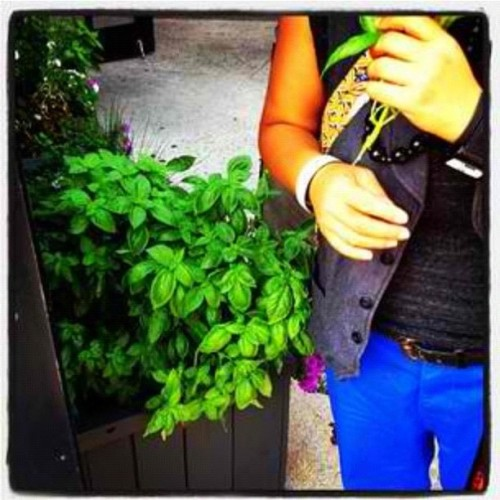 "[archived mission to ""borrow"" fresh #herbs from fancytown #greenwichvillage #nyc.  note my new blue birthday pants. #basil #food #finding / photo by @tpdcny.] (Taken with Instagram)"