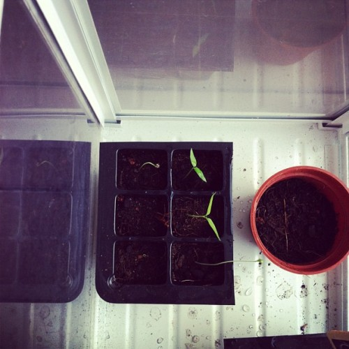 Chilli and tomato sprouts! *beams*