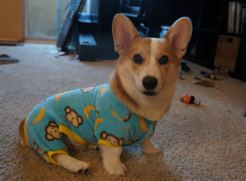 corgiaddict:  submitted by: corgnelius.tumblr.com corgis in jammies are too much cute for me to handle!