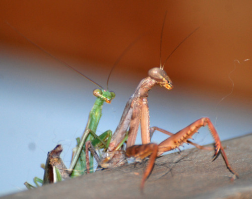 yosemitegal:  Check this out—these mantids were mating on my deck. And can you see the headless one she already feasted on? Wild kingdom action. I just wanted to save the male.