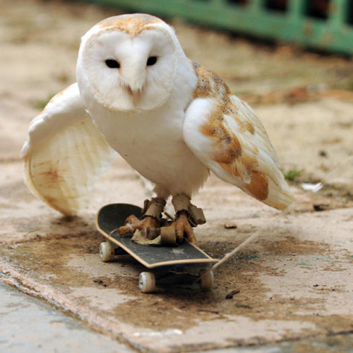"archiemcphee:  Meet Alby the skateboarding Barn Owl. Alby is a resident of the Folkestone Owl Sanctuary in Folkstone, Kent, England, run by Brian Maxted who first opened the sanctuary back in 1989. The sanctuary has grown steadily since it was started and now has both the dedicated staff and space enough to care for as many as 50 birds of prey at one time. But let's get back to Alby. Brian says that he first discovered Alby's unusual talent during a trip to a nearby shopping center:  ""I often take some owls into town to try and get some donations from shoppers. I had the owls out one day last week and a young lad stopped to look at them. He put down his skateboard and Alby, who'd been fast asleep, saw it and jumped on. Someone pulled it along the ground and he loved it so much, we had to get him one of his own.""  13-year-old Alby has since developed his skateboarding technique. He swoops down on the board and uses the momentum from his flight to propel himself along. Once the board rolls to a stop, Alby takes off and flies in a small circle before once again swooping down onto the board, thus pushing it along again. Pretty awesome. Watch video of Brian Maxted and Alby at the Folkestone Owl Sanctuary. Brian explains how Alby first discovered his unlikely hobby and gives a demonstration of Alby being pulled along on his own tiny skateboard. [via Telegraph.co.uk] It's Animals Doing People Things Day on Geyser of Awesome!   Woah this is dope :D"