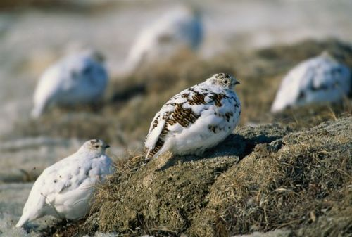 Ptarmigan birds of the Arctic