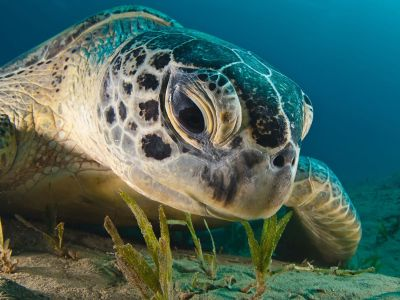 From National Geographic Photo Of The Day; September 21, 2012: Green Sea Turtle, Red Sea Dmitry Marchenko, Your Shot Gaze of a Green Sea Turtle (Chelonia mydas). South Egypt, Red Sea. Taken November 27, 2010. (This photo and caption were submitted to Your Shot. Have a great shot? Send it to us for possible publication inNational Geographic magazine.)