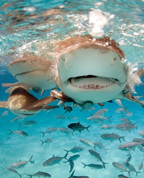fyeah-seacreatures:  Lemon Sharks.SharkyJillian