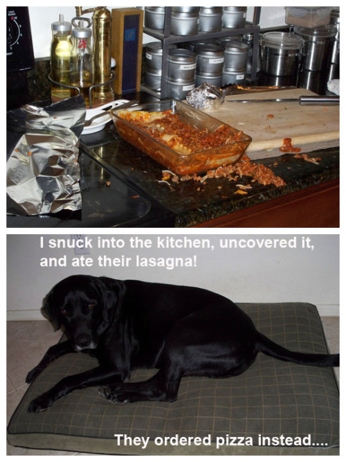 reblogged from dogshaming:  I snuck into the kitchen, uncovered it, and ate their lasagna!  They ordered pizza instead…  From where I sit, that dog did her humans a favor.