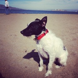 Beachin #jrt #jackrussel  (Taken with Instagram)