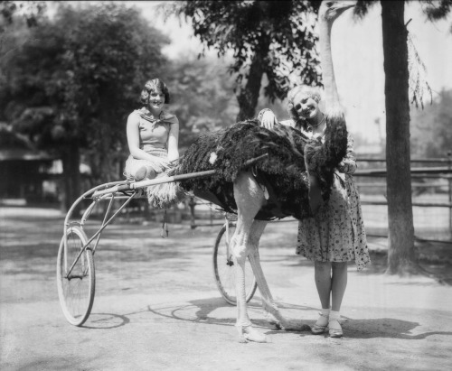 "Before Disneyland, there were ostrich farms. In the late 19th-century, tourists flocked to Southern California's ostrich farms to gawk at the ungainly birds. Learn more with L.A. as Subject's latest KCET contribution: ""An Ornithological Curiosity: When Ostriches Ruled SoCal Tourism."" This 1929 photo from the USC Libraries' ""Dick"" Whittington Photography Collection was recently digitized as part of the NEH-funded project, Invisible L.A."