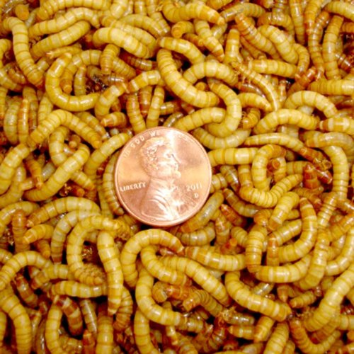 "theworstthingsforsale:  2,000 live mealworms for reptiles, birds, and fish? More like 2000 live mealworms for reptiles, birds, fish, and people who like a lot of protein that moves while it's inside you being digested. You have to like that one guy left a review saying ""these aren't as fancy as the mealworms I get from the pet store."" What's a fancy mealworm? Does it come with a little monocle and know the difference between ""who"" and ""whom?"""