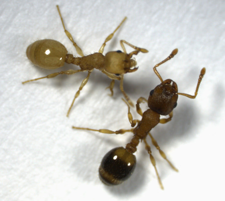 Sick Ants Don't Compromise the Whole Nest by Elizabeth Pennisi A particularly bad flu season can empty schools, clear out offices, and cripple productivity. But when ants are infected—with tapeworms, for example—their nests, surprisingly, keep humming along. The tiny ant Temnothorax nylanderi lives in groups of up to 200 in acorns and sticks in European forests. Parasite eggs likely enter the nest via woodpecker feces, which the ants collect and feed to their young. The young become infected by consuming the eggs with the feces and wind up petite and yellow—instead of brown—as adults (see picture). Researchers have found that up to a third of T. nylanderi's nests are infected, and they expected to see a corresponding productivity decline in those nests. Indeed, a comparative study of sick and healthy ants collected from the wild and kept in artificial glass containers showed that sick ants don't do their share: They rarely go outside the nest and spend most of their time hanging out or begging food from their healthy nestmates. Yet the colony as a whole is as productive as uninfected colonies, researchers reported online today in The American Naturalist. It seems that, despite their industrious reputation, quite a few ants just sit around and do nothing—which means that there's an existing buffer of workers already laboring to make up for the sick ones. But an examination of nests brought in from the wild showed one difference: The infected colonies produced more males than the uninfected ones—possibly because males are more likely to move away from the nest and out of range of the local tapeworm. (via: Science NOW)                  (photo: Inon Scharf)
