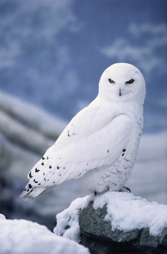 fairy-wren:  snowy owl (photo via imagevuer)